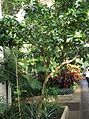 Lamiales - Crescentia cujete 6.jpg