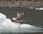 Landing petrel (24601304026).jpg