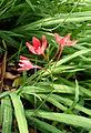 Lapeirousia laxa kz3.JPG