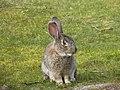 Lapin (Leporidae) (05).jpg