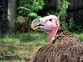 Lappet-faced Vulture 1.jpg