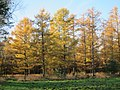 Larchtrees colours always nice yellow-brown in autumn and loose their needles - panoramio.jpg