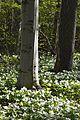 Large White Trilliums (Trillium grandiflorum) - Guelph, Ontario 03.jpg