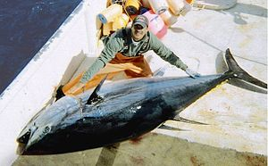 Atlantic bluefin tuna - Image: Large bluefin tuna on deck