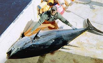 Atlantic bluefin tuna - Image: Large bluefin tuna on deck