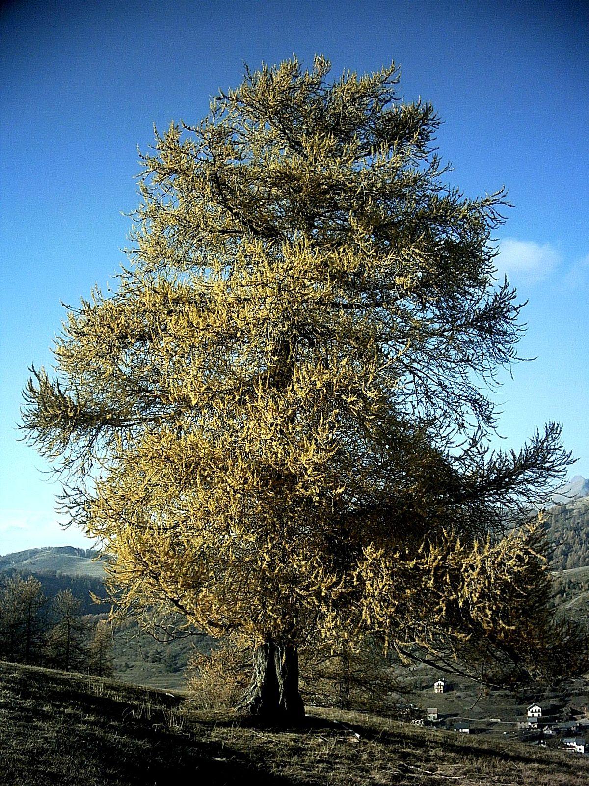 Фото-Vera.V-тонкочешуйчатая 'Pendula Tortuosa' (Larix decidua ... | 1600x1200