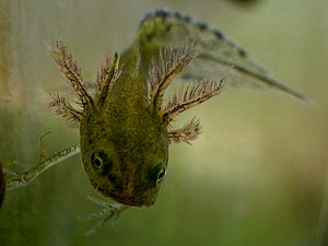 Metamorphosis - The large external gills of the crested newt