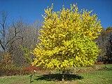 Lasdon Arboretum - Maclura pomifera - IMG 1420.jpg