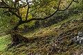 Laurel Tree in Fanal.jpg