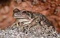 Lava-loving Pseudacris regilla (Pacific Treefrog) (14809063037).jpg