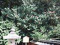 Le Temple Shintô Hiraoka Hachiman-gû - L'arbre de camélia.jpg