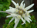 Leontopodium alpinum 1.JPG
