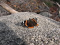 Lepidoptero-thrace-greece-0a.jpg
