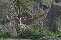 Leptailurus serval - junger Serval.jpg