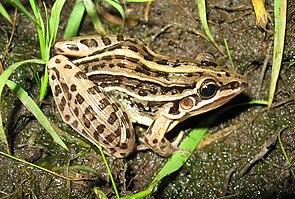 Leptodactylus gracilis
