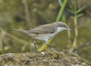 Lesser whitethroat - Lesser Whitethroat at Rajkot