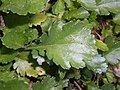 Leucanthemum vulgare 2017-09-28 5522.jpg
