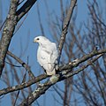 Leucistic red-tailed hawk (5227617604).jpg