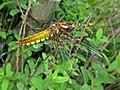 Libellula depressa (Libellulidae) - (female imago), Haulerwijk, the Netherlands.jpg