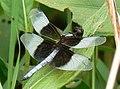 Libellula luctuosa Chalco.jpg