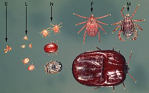 Ticks of domestic animals - Development stages of ixodid tick Rhipicephalus appendiculatus; E=eggs, L=larvae, N=nymphs, F=female, M=male; upper row unfed ticks, lower row fully engorged larvae, nymphs and a female; all same scale