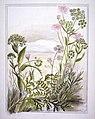 Ligusticums. 1. Ligusticum intermedium... 2. Ligusticum aromaticum... 3. Ligusticum piliferum. (1890-1896). by Emily Cumming Harris.jpg