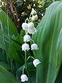 Lily of the valley, Convallaria majalis, Moмина сълза.jpg