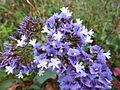 Limonium sventenii - flowers.jpg