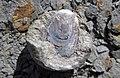 Lingula sp. (fossil brachiopod) in nodule (Rushville Shale, Lower Mississippian; Trinway West 6 Outcrop, Rt. 16 roadcut northeast of Frazeysburg, Ohio, USA) 1 (28407186478).jpg