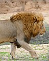 Lion (Panthera leo) (33211076741).jpg
