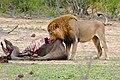 Lion (Panthera leo) eating some buffalo meat ... (32526249143).jpg