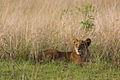 Lion cub - Queen Elizabeth National Park, Uganda (3).jpg