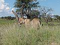 Lioness (Panthera leo) (7017872253).jpg