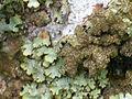 Liquen Cladonia humilis Enfoque 2011-2-20 PtoNiefla SierraMadrona.jpg