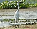 Little Egret (6862000946).jpg