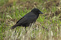 Little Raven - Victoria S4E5415 (22387025485).jpg