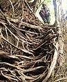Living root ladder.JPG