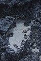 Lizard burrow into apparent rock. San Salvador (27093458709).jpg