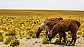 Llamas altiplanicas (26257922410).jpg