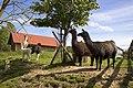 Llamas in Latvia - panoramio.jpg