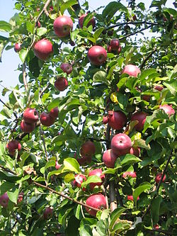 Malus domestica wikipedia la enciclopedia libre for Arboles de hoja perenne que crece rapido