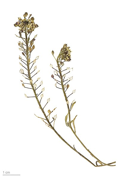 File:Lobularia maritima MHNT.BOT.2008.1.2.jpg