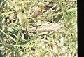 Locust or big grasshopper. Zahara. Andalusia. Atlantic Coast (37047685714).jpg