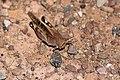 Locustana pardalina-1540 - Flickr - Ragnhild & Neil Crawford.jpg
