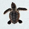 Loggerhead Sea Turtle - Caretta caretta (juvenile) in Sanibel (Florida) 01.jpg