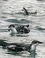 Long-billed Murrelet From The Crossley ID Guide Eastern Birds.jpg