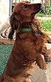 Long-haired dachshund standing.jpg