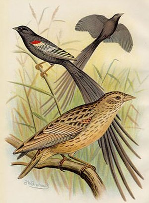 Long-tailed widowbird - Male long-tailed widowbirds showing breeding and non-breeding plumage