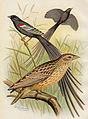 Long-tailed widowbirds showing breeding and non-breeding plumage.jpeg