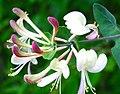Lonicera caprifolium ENBLA07.jpg